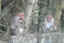 Kumily: Hey Hey we're the Monkeys!
