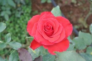 Rosebud!!