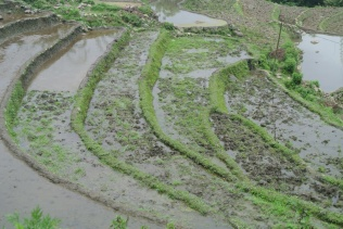 Sapa: Rice paddies