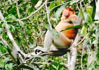 Proboscis Monkey in Borneo