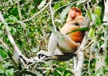 Proboscis Monkey in Borneo