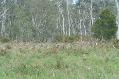 Spot the Wallaby!