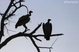 Pair of Vultures