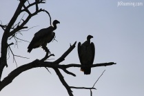 Pair of Vultures