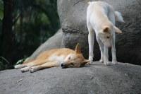 Pair of Dingoes
