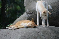 Pair of Dingoes
