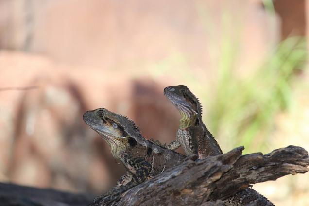 Eastern Water Dragons