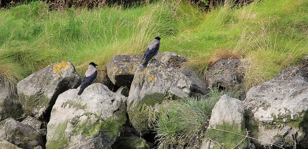 Murder of Hooded Crows