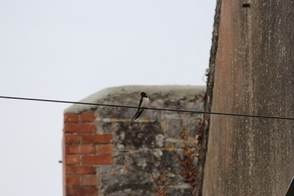 Barn Swallow?