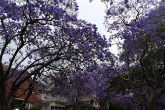 Jacaranda Trees at McDougall Street