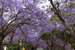 More Purple Trees