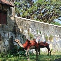 Urban Camels